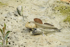 A Pair of Giant Mud Skippers Royalty Free Stock Photo