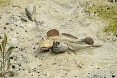 A Pair of Giant Mud Skippers Stock Photos