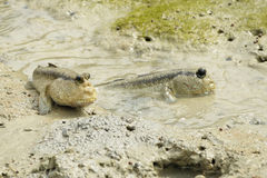 A Pair of Giant Mud Skippers Royalty Free Stock Image