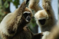 Pair of Gibbons royalty free stock photography