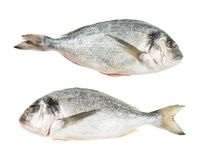 Pair of gilt head bream fish Royalty Free Stock Photo