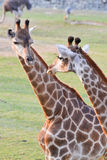 A pair of giraffe. On grass field Stock Photo