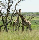 A pair of giraffe in african bush Stock Photo