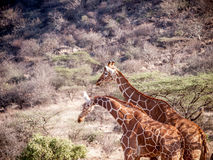 Pair of Giraffe on African savannah in Kenya Royalty Free Stock Photos