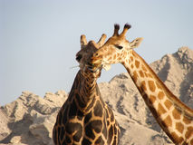 A pair of giraffe showing affection Royalty Free Stock Photography