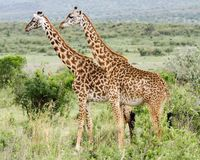 A pair of Giraffe standing upright Stock Photography