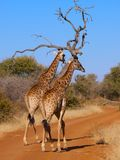 A Pair of Giraffe taking a stroll Royalty Free Stock Photo