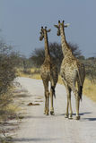 Pair of Giraffe Walking Down Road in Etosha Royalty Free Stock Image