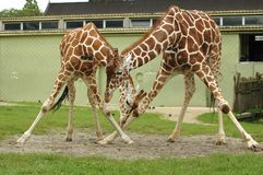 Pair of giraffe at zoo Stock Images