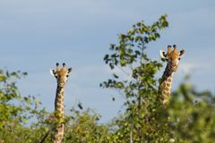 Pair of Giraffes Stock Image