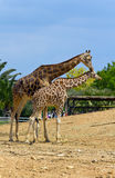 A pair of giraffes Stock Images