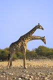 Pair of giraffes. The shot was taken in Etosha Park, Namibia Royalty Free Stock Photography