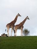 Pair giraffes Stock Photography