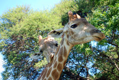 Pair of giraffes. Pair of African giraffes with leafy trees in background Stock Photos