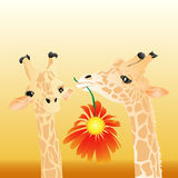 Pair of giraffes. Love between giraffes. The man gives to the woman a red flower similar to the sun Royalty Free Stock Photos