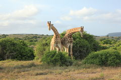 Pair of Giraffes - Bowing Royalty Free Stock Photos