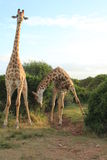 Pair of Giraffes - Bowing 2 Stock Image
