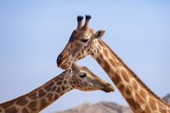 A pair of giraffes close up stock photography
