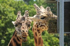 Closeup of the heads of two giraffes royalty free stock photos