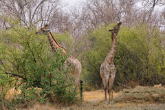 Pair of giraffes eating Royalty Free Stock Image