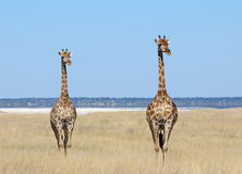Pair of Giraffes in Etosha Stock Images