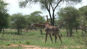 Pair of Giraffes grazing from treetops on grassland stock video footage