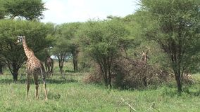 Pair of Giraffes grazing from treetops on grassland stock footage