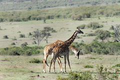 A pair of Giraffes necking Stock Images