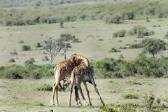 A pair of Giraffes necking Stock Photos