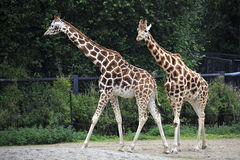 Pair of giraffes. Royalty Free Stock Photo
