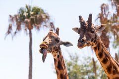 Pair of Giraffes Royalty Free Stock Photography