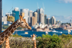 Pair of Giraffes posing against Sydney CBD on the background Royalty Free Stock Image