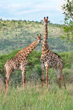 Pair of giraffes Royalty Free Stock Image