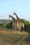 Pair of Giraffes walking away Stock Photos