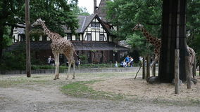 A pair of giraffes walking and eating in their yard at zoo stock footage