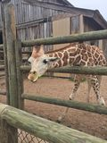 Pair of Giraffes in a wooden pen being fed lettuce with the head approaching the camera great nature shot with wildlife. Giraffes in a fenced yard eating lettuce royalty free stock image