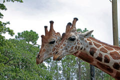 A Pair of Girrafes at the Naples Zoo. The giraffe (Giraffa camelopardalis) is an African even-toed ungulate mammal, the tallest living terrestrial animal and the Royalty Free Stock Photo