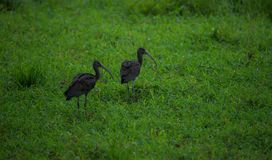 Pair of Glossy Ibises Stock Photography