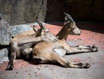 Pair of goats Royalty Free Stock Photos