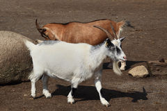 Pair of goats Stock Photo