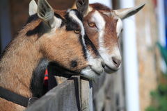 Pair Two Goats Royalty Free Stock Photos