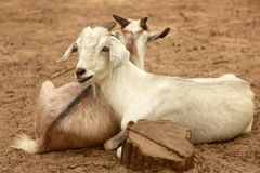Pair of goats Stock Images