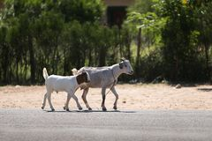 A pair of goats trotting freely along a road in rural Namibia. A pair of goats trotting freely along a road in rural northern Namibia, where the Hambukushu stock image