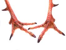 Pair Of Gobbler Feet. Pair of Gobbler male turkey feet, showing fighting spurs on backs of legs Stock Images