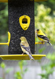 A Pair of Gold Finch Stock Images