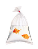 Pair of gold fishes Stock Images