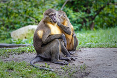 Pair golden-bellied mangabey Stock Image