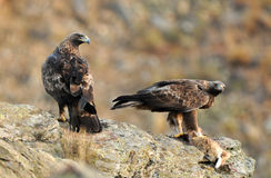 Pair of golden eagles in the mountains royalty free stock images