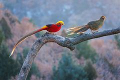 Golden pheasant. A pair of Golden pheasant stand on trunk. Scientific name: Chrysolophus pictus Royalty Free Stock Photo