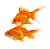 Pair of goldfish Stock Images